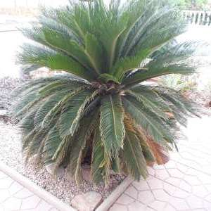 For sale Palm tree