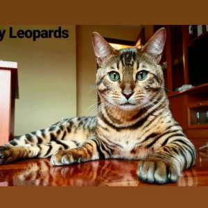 Luxury Leopards
