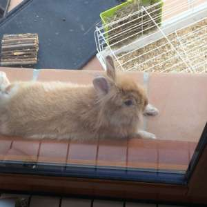 FREE LIONHEAD HOUSE RABBIT IN NEED OF FOREVER HOME